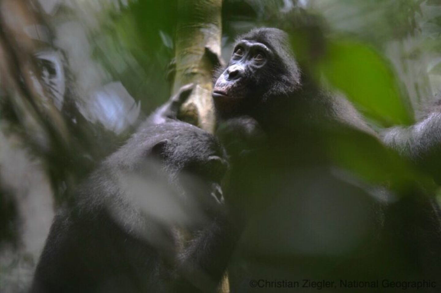 Bonobo looking up to the light