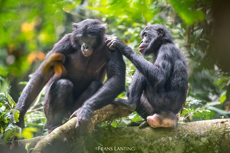 Bonobo female grooming male, Kokolopori Bonobo Reserve, Congo DRC