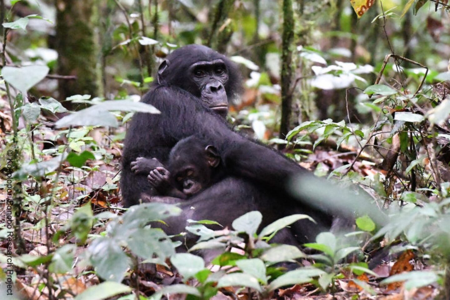 Bonobos only reproduce once every four or five years because baby bonobos